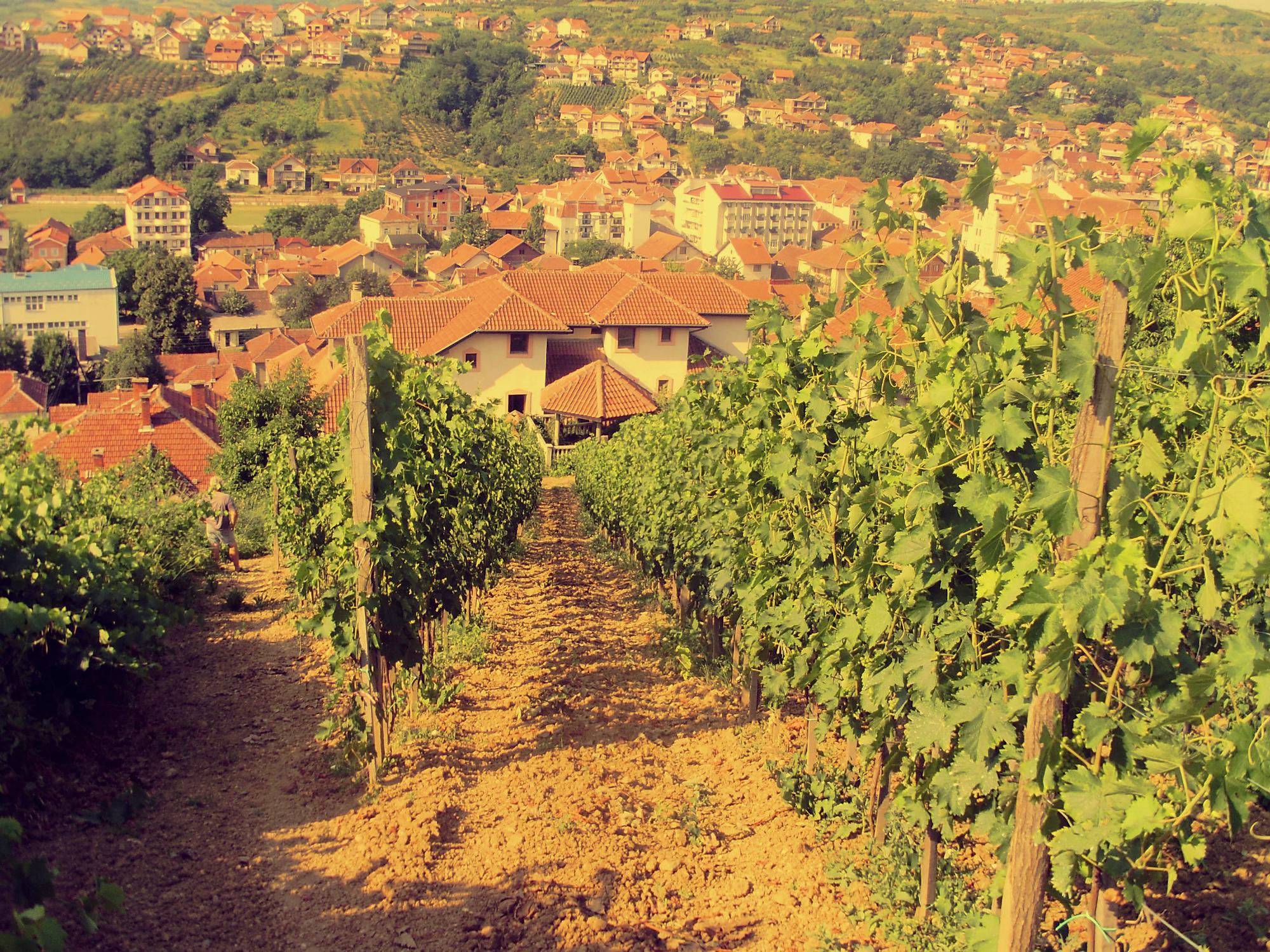 Weingarten Weingut Ivanovic