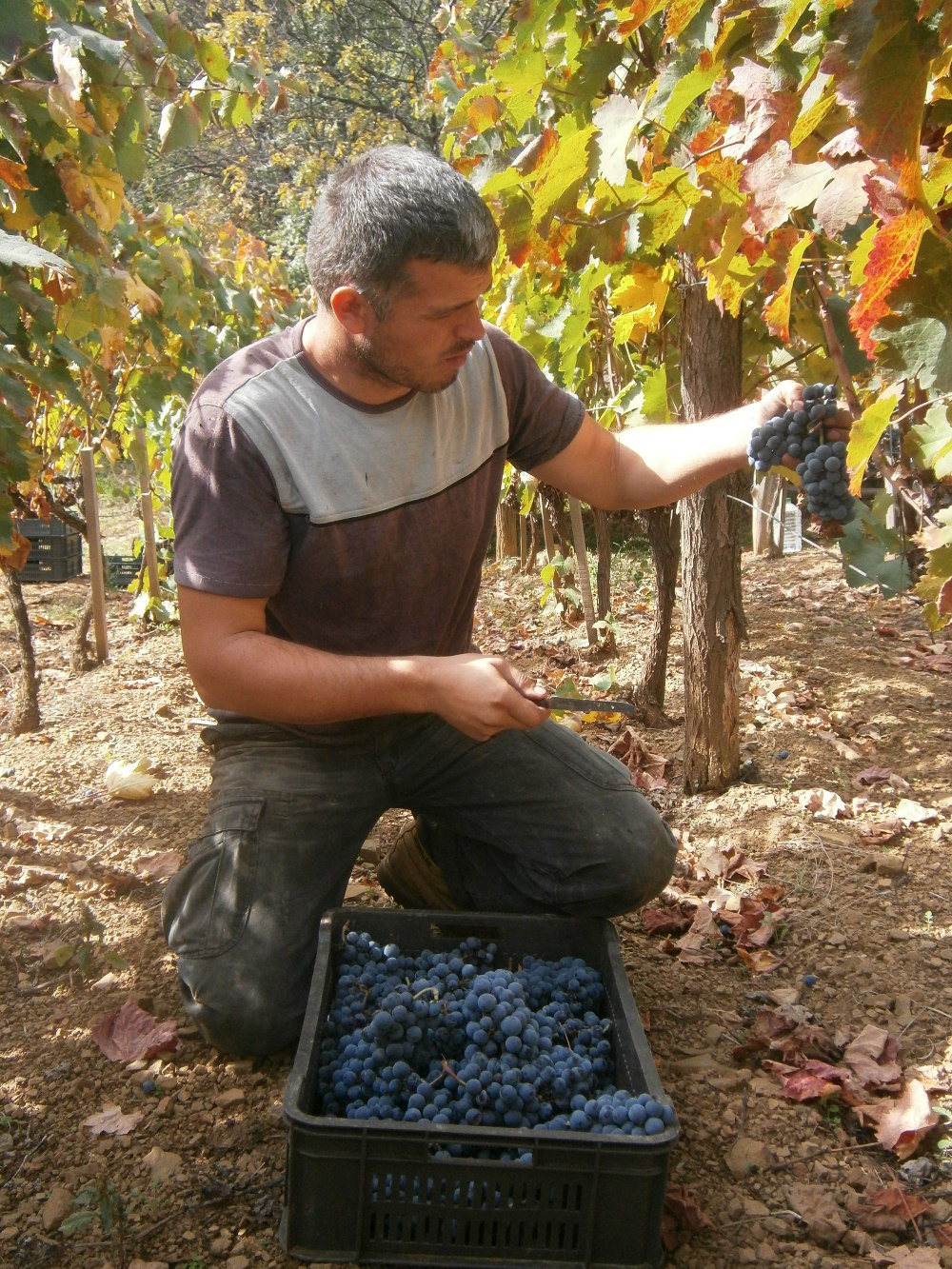 radovan vineyard cokot wein aus serbien