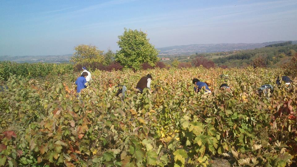 vineyard prokupac